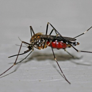 dengue fever bali A. aegypti mosquito which carries Dengue fever